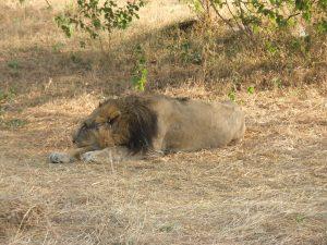 lion Gujurat